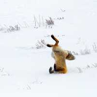 Fox jumping head first into the snow