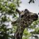 Giraffe with heads in trees
