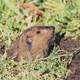 Gopher sticking its head out of the ground