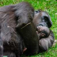 Gorilla and baby sleeping