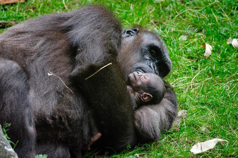 Gorilla And Baby Sleeping Image Free Stock Photo