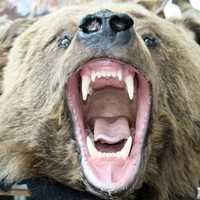 Grizzly bearing its fangs