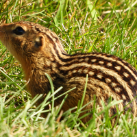Ground squirrel in the grass