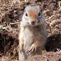 Ground squirrel looking up from hole