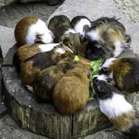 A group of Guinea Pigs Feeding - Cavia porcellus