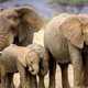 Group of elephants with babies