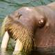 Head of the Walrus - Odobenus rosmarus