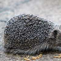 Hedgehog eating a few mealworms