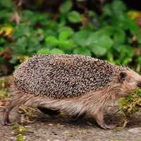 Hedgehog gathering Debris