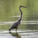 Heron Standing up in the water