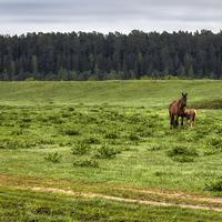 Horse and Young Grazing on Grassland