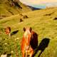 Horses on the Hillside