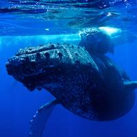 Humpback whale under water