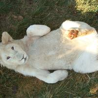 Lion Cub laying down being playful