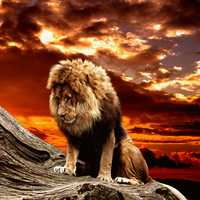 Lion on the mountainside at sunset