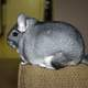 Long-tailed chinchilla sitting on Sofa -- Chinchilla lanigera