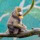 Mandrill sitting on a branch
