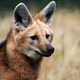 Maned Wolf in the UK