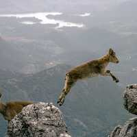 Mountain Goat jumping cliffs