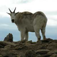 Mountain Goat standing on the rock