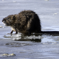 Muskrat on the Ice