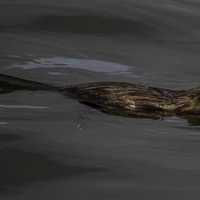 Muskrat swimming in the water