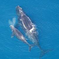 North Atlantic right Whale and Calf -- Eubalaena glacialis