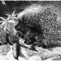 North African crested porcupine -- Hystrix cristata
