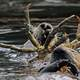 Otters eating giant crab