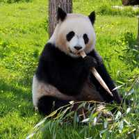 Panda Bear eating Bamboo on the ground