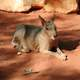 Patagonian mara sitting on the ground - Dolichotis patagonum