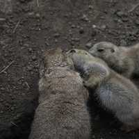 Prairie Dogs cuddling together