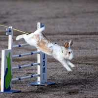 Rabbit jumped over the obstacle