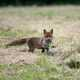 Red Fox with meal in its mouth