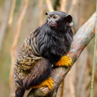 Red-handed tamarin on Branch - Saguinus midas