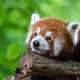 Red Panda Resting on a log