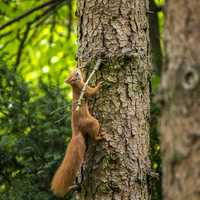 Red Squirrel Climbing up a Tree
