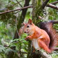 Red Squirrel sitting in Tree