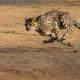Running Cheetah on the african plains