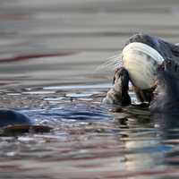 Sea Otter eating giant clam