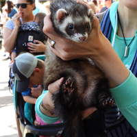 Service Ferret being held