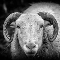 Sheep with horns closeup
