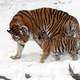 Siberian Tiger with Cub - Panthera tigris altaica