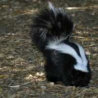 Skunk in the forest