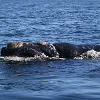 Southern Right Whale Surfacing -  Eubalaena australis