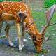 Spotted Deer with Antlers