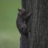 Squirrel Clinging onto the side of a tree