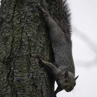 Squirrel clinging upside down on a tree