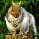 Squirrel standing on a tree stump eating a nut