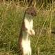 Stoat standing up - Mustela erminea
